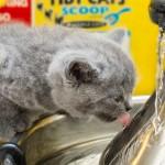 貓用舌頭喝水也是與別不同的