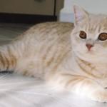 我們的育種貓Sardross Bingo