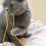 吞吃繩線或帶狀異物可致命,慎選貓兒玩具保安全