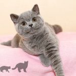 2016年英國短毛小貓:可愛的小女孩 Our Sweet Little Girl – Kitten 2016