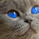 藍色眼睛的傳說?解構貓兒眼睛顏色的遺傳