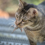 【古法治鼠】香港流浪貓真可成為治鼠奇兵?