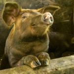【瘟疫來襲】防範非洲豬瘟市民有責幫到手!
