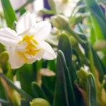 農曆新年慎防有毒花卉