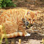 保育野生動物,又關貓事?貓養在室內是最好