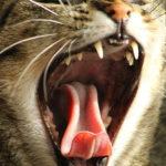 【牙齒保健】解構貓兒齒系,勤刷牙免受苦