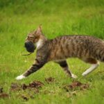【對付鼠患】貓真會吃老鼠嗎?