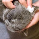 【養貓新手 6】替貓兒洗耳朵