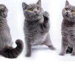 昔日貓展 Our cats in shows videos